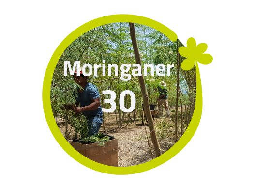 Moringaner - 30 Moringabäume