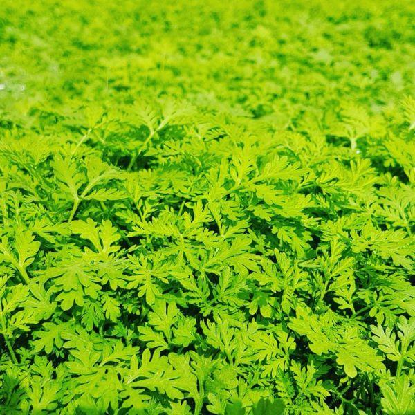 Moringa/Artemisia Kapseln