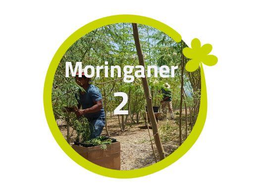 Moringaner - 2 Moringabäume