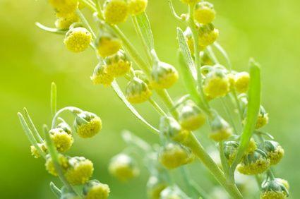 Artemisia Pulver